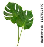 monstera two green tropical... | Shutterstock . vector #1137511640