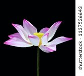 clipping paths pink lotus... | Shutterstock . vector #1137526643
