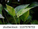 australian native monstera ... | Shutterstock . vector #1137578753