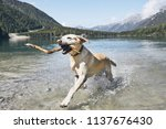 dog with stick in mountains.... | Shutterstock . vector #1137676430