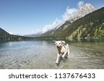 dog in mountains. happy... | Shutterstock . vector #1137676433