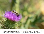 close up of bee on thistle. | Shutterstock . vector #1137691763