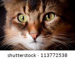 somali cat on dark background | Shutterstock . vector #113772538