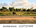 Small photo of Carabao on Open Field Against Cloudy Sky on Sunset