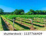 rows of strawberries growing on ...   Shutterstock . vector #1137766409