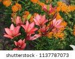 asclepias tuberosa on butterfly ... | Shutterstock . vector #1137787073