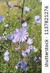 flowering cichorium plant  wild ... | Shutterstock . vector #1137821276
