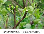 Small photo of Hard pruning for neglected lime trees and put forth leave-buds