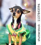 chihuahua puppy dressed up in a ...   Shutterstock . vector #1137843596