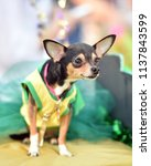 chihuahua puppy dressed up in a ...   Shutterstock . vector #1137843599