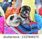 pug puppy dressed up in a...   Shutterstock . vector #1137848273