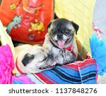 pug puppy dressed up in a...   Shutterstock . vector #1137848276