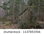 old alder trees among spruces... | Shutterstock . vector #1137852506