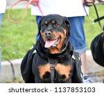 rottweiler dog out for a walk   Shutterstock . vector #1137853103