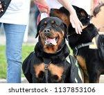 rottweiler dog out for a walk   Shutterstock . vector #1137853106