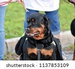 rottweiler dog out for a walk   Shutterstock . vector #1137853109