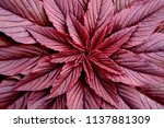 leaves of the plant amaranth... | Shutterstock . vector #1137881309