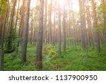 natural beech tree forest...   Shutterstock . vector #1137900950