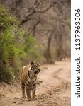 tigress cub on the road at... | Shutterstock . vector #1137963506