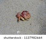 a dead crab at the beach  | Shutterstock . vector #1137982664