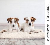 two dogs lying on pillow. jack... | Shutterstock . vector #1138038020