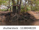 The Exposed Root System Of A...