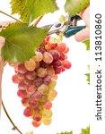 Hand gathering ripe grapes. Isolated on white background - stock photo