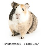 Brown Guinea Pig On White...