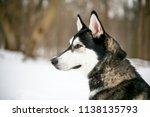 profile of a siberian husky... | Shutterstock . vector #1138135793