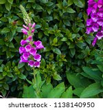 dainty tall  flower spikes of ... | Shutterstock . vector #1138140950