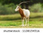 scimitar horned oryx animal in... | Shutterstock . vector #1138154516