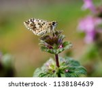a moth stands on a plant in... | Shutterstock . vector #1138184639