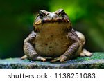 Cane toad, Rhinella marina, big frog from Costa Rica. Face portrait of large amphibian in the nature habitat. Animal in the tropic forest. Wildlife scene from nature.