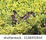 small passerine birds in the... | Shutterstock . vector #1138352810