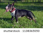 black with white miniature bull ... | Shutterstock . vector #1138365050