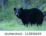 Black Bear Sow In Lush Green...