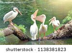 Great White Pelicans Sit On A...