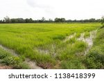 green rice field with cloudy...   Shutterstock . vector #1138418399
