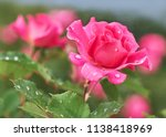 Pink rose flower with raindrops ...