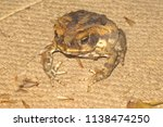 cane toad with flying termites... | Shutterstock . vector #1138474250