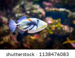 Tropical Triggerfish In...