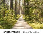 Sunny Summer Pine Forest With...