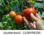 Hand Take Ripe Natural Tomatoes ...