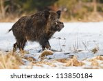 Male Wild Boar In The Snow ...