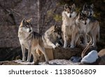 the wolf pack | Shutterstock . vector #1138506809