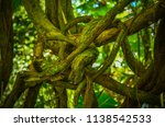 knotted hawaiian tree vines  | Shutterstock . vector #1138542533