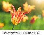 tulip flower flowering in...
