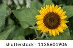 sunflower natural background ... | Shutterstock . vector #1138601906