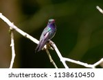 sapphire spangled emerald... | Shutterstock . vector #1138610450