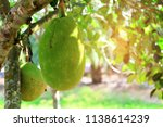 Jackfruit Tree And Big...